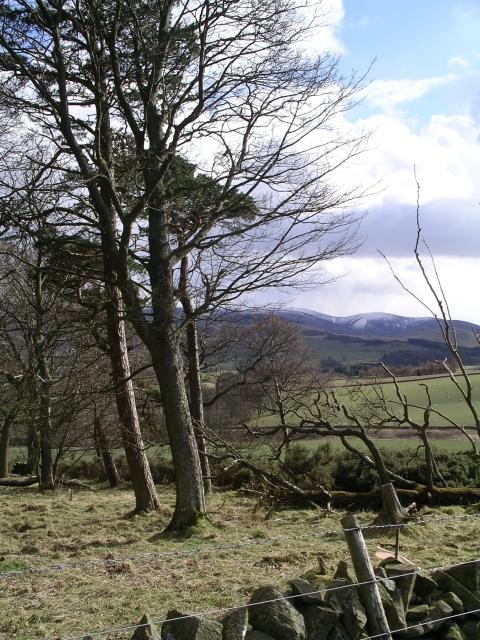 Pine trees, Hamilton Hill