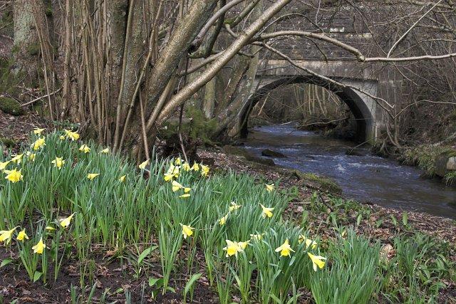 Hartoft Bridge with wild daffodils