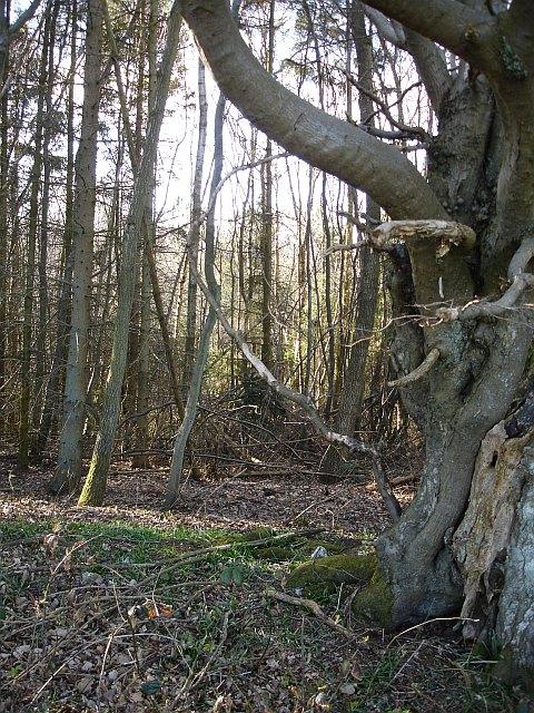 Old beech tree, Longton Wood