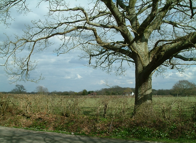 Hedgerow Oak at Whitesmith