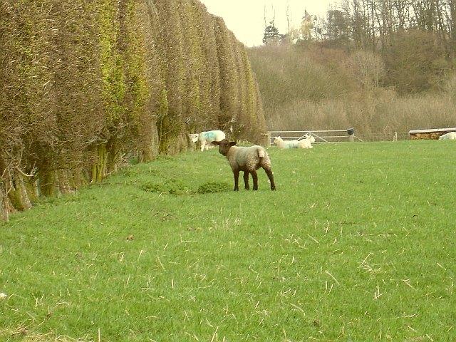 Lambs near Wheatsheaf Farm