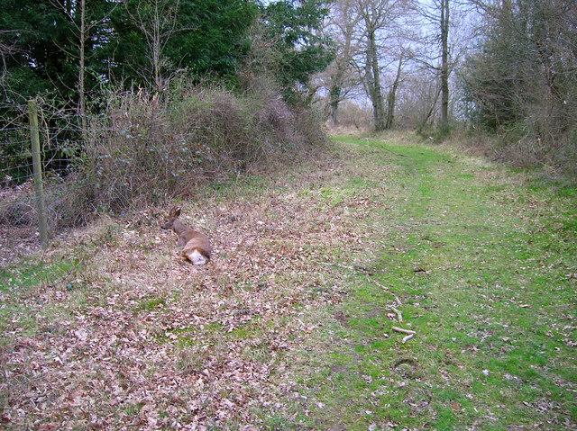 Dying Deer, near Jessops Farm