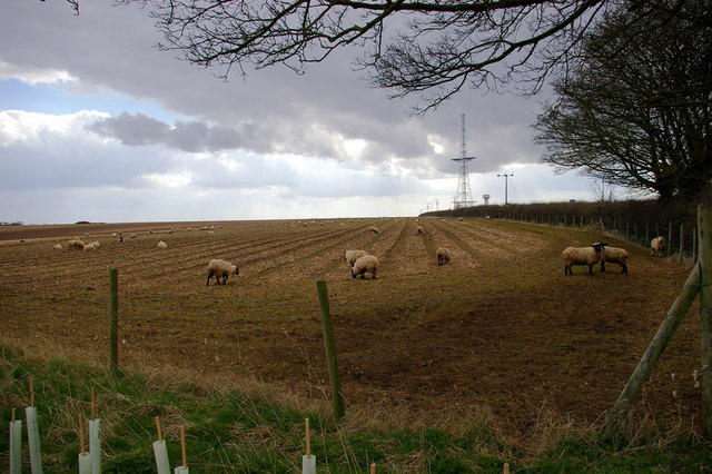 Field with Sheep.