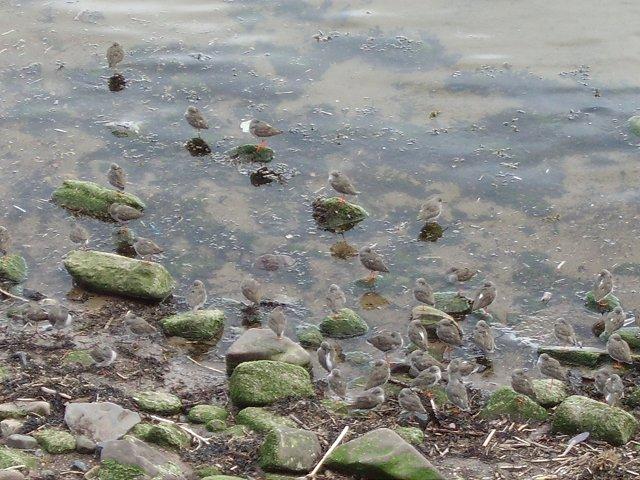 Redshank roost