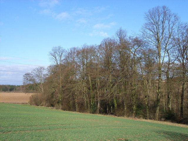 Beeches near Winchmore Hill