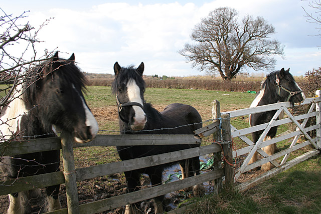 Horses on West Cross Lane, near Mountsorrel