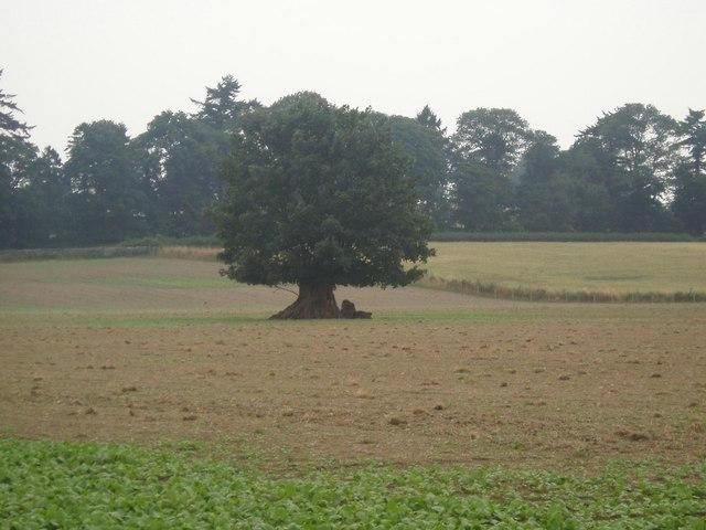 Lone tree in field.