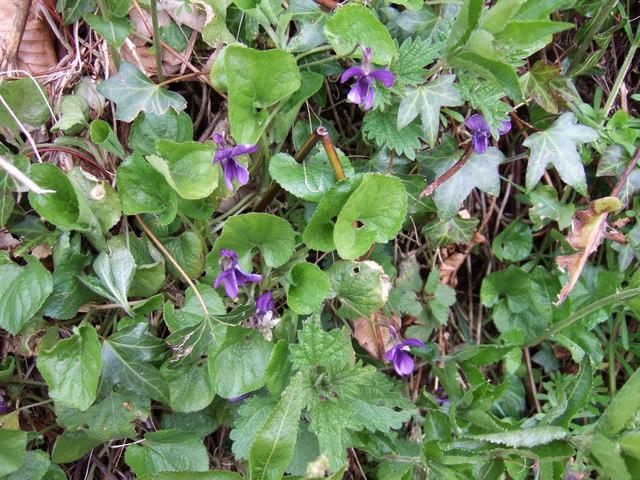Violets in Devon Hedgerow