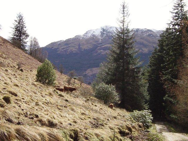 Cattle above Lochgoilhead.