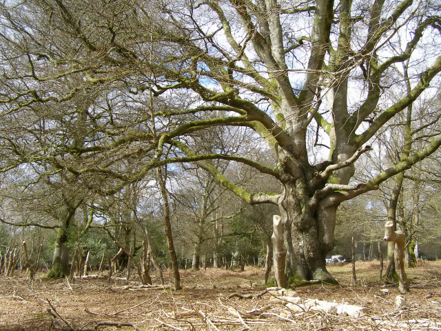 Beech pollard and pollarded holly, Warwick Slade, New Forest