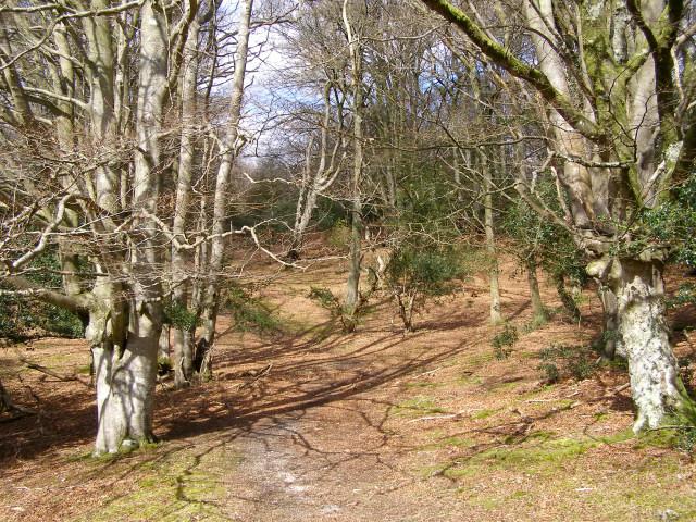 Beech woodland between Allum Green and Highland Water, New Forest