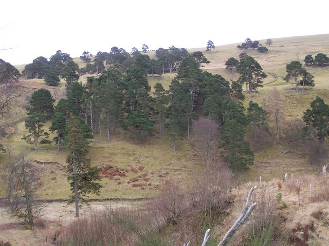 Scattered pine trees on the slopes of Deuchar Hill.