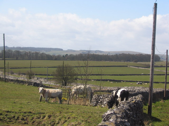 Cattle at Johnson Lane Farm