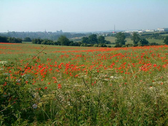 Poppy field near Glendon Lodge