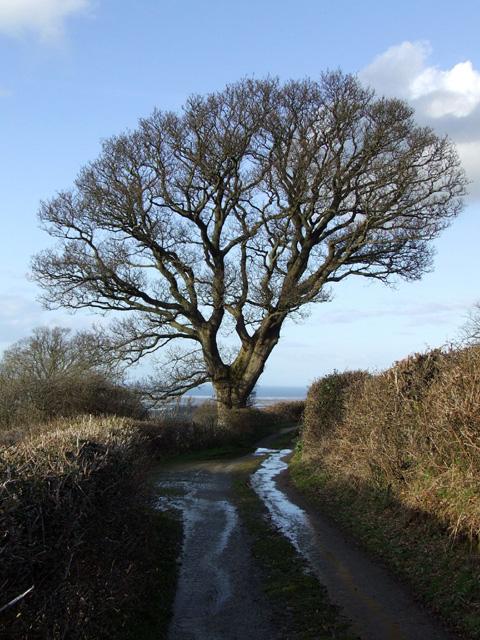 Tree alongside country lane at Crymlyn