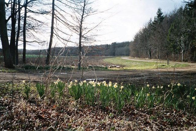 Daffodils on edge of Deadman's Riding Wood