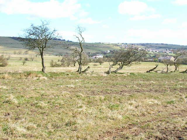 Windswept trees near White Lea, Crook