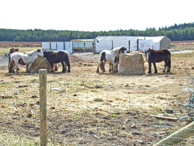 Heavy Horses, near Sunniside, Crook