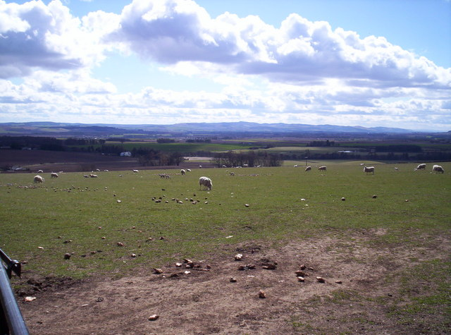 Field of Sheep From Deuchar