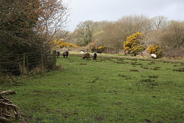 Sheep Grazing on Marginal Pasture