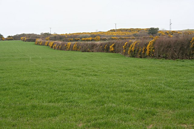 Gorse and Grass