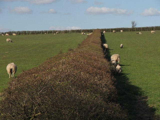 Well kept hedgerow.