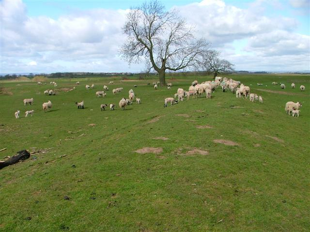 Sheep Grazing on Flood bank of the River Swale