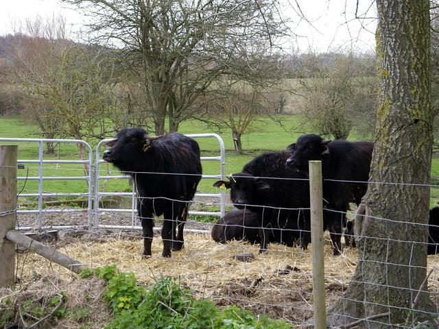 Calves at Manor Farm, Broughton