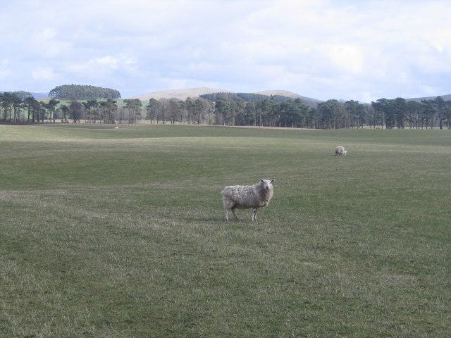 Quizzical Sheep