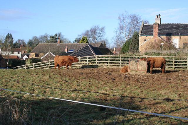 Highland cattle in the middle of Eaton