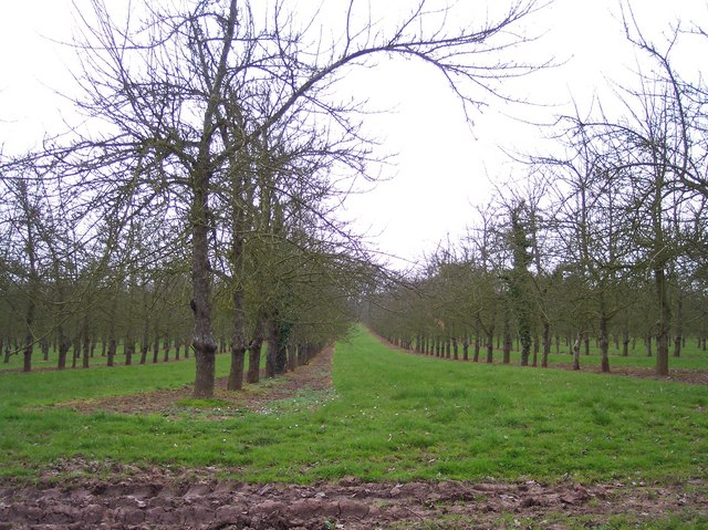 Orchard near Upper Holbach