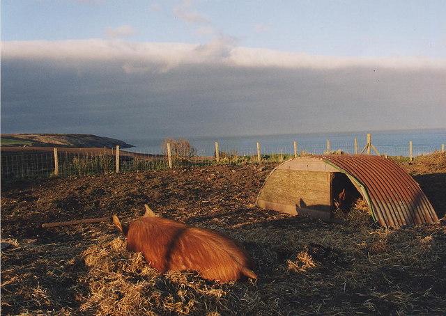 Pig Asleep in Old Portlethen Village