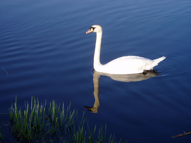 Swan on the Lancaster Canal in Holme