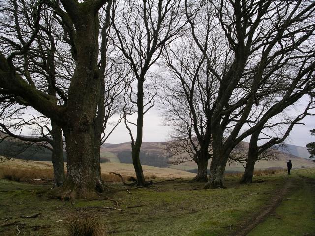 Beech Grove, near Cowgill Loch