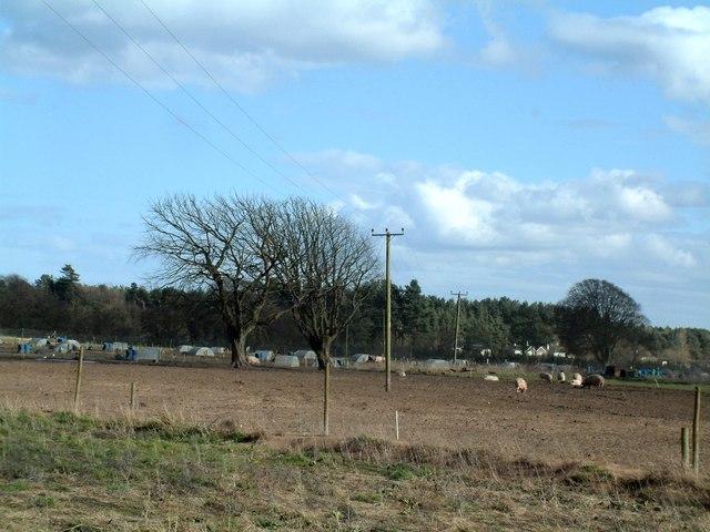 Pig farming south of Morton