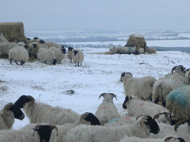 Blackface Ewes Feeding on Garleigh Moor