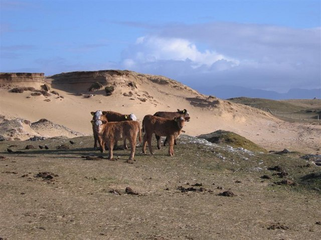 Calves by the Dunes, by Traigh Scarasta