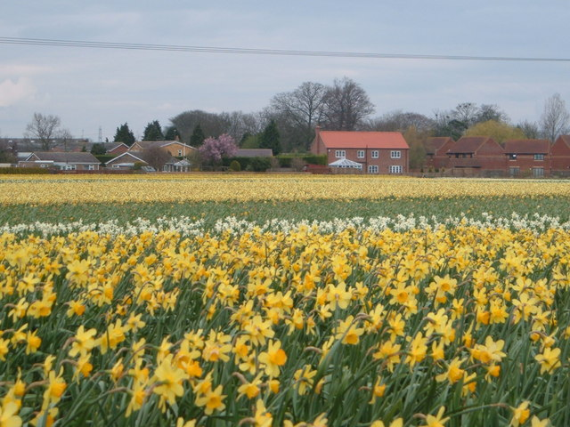 Bulb fields near Whaplode village