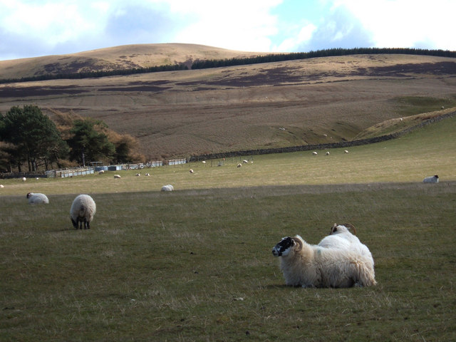 Sheep grazing in the Pentlands