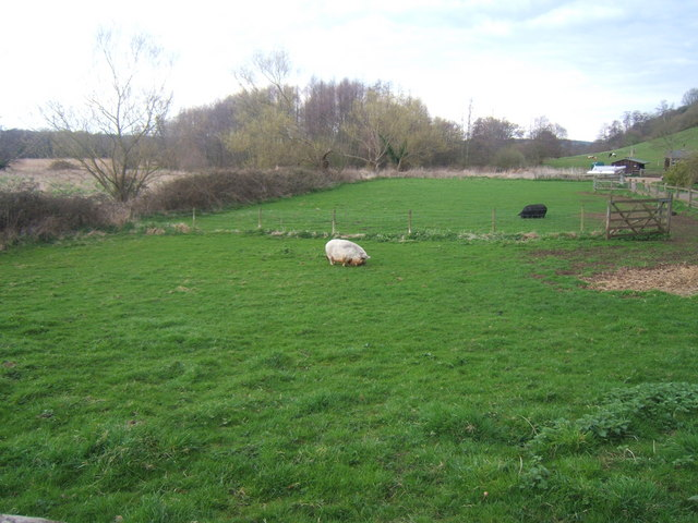 Pet pigs in a field near Catteshall