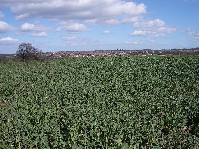 Green leafy crop