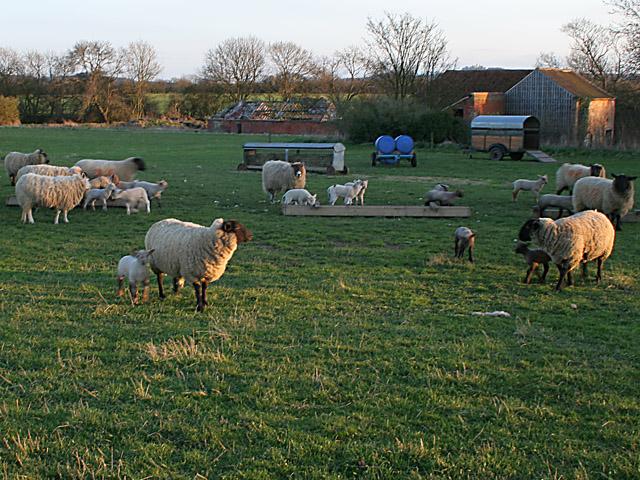 Lincolnshire Sheep.