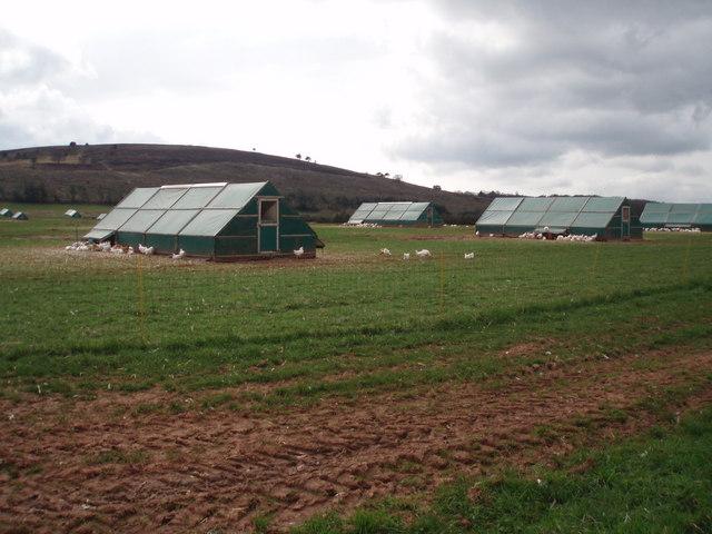 Free-range chicken farm.