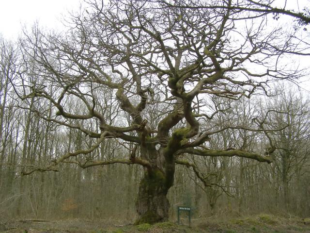 White Road Oak, Savernake Forest