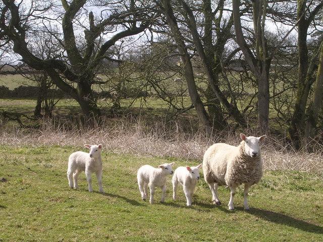 Sheep at Beckbank