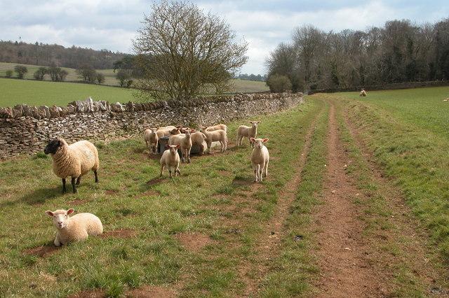A Sheep and Lambs