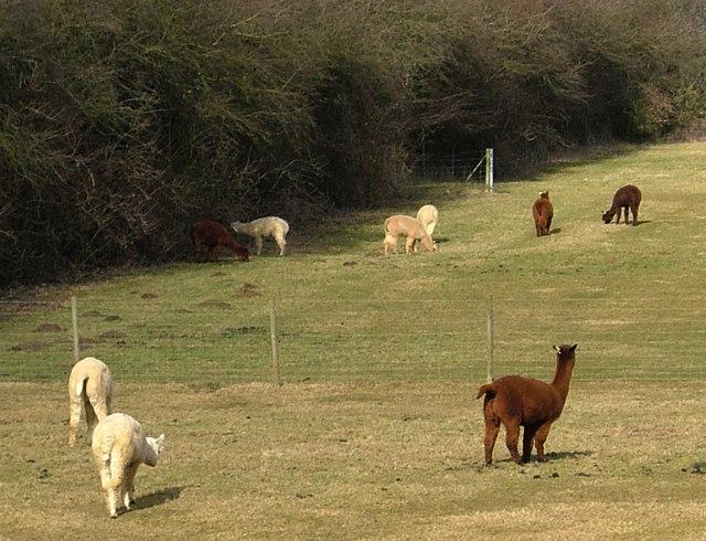 Alpaca farm east of Rothwell