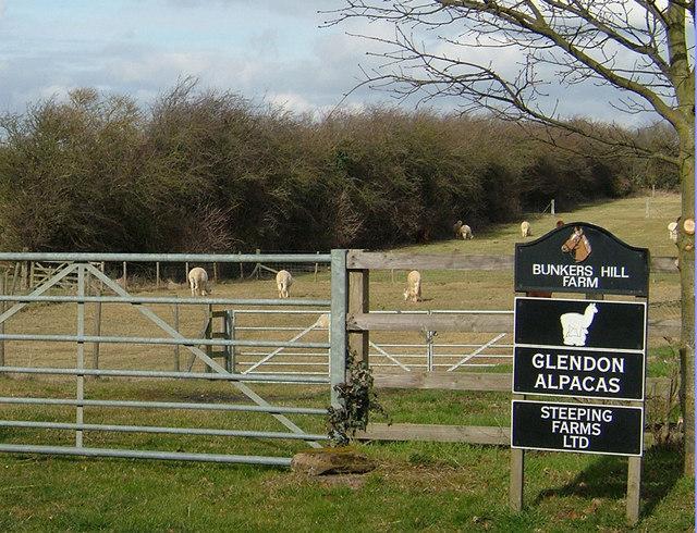 Alpaca farm east of Rothwell (2)