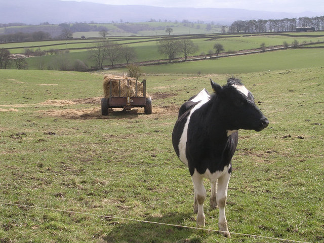 Lone Cow near Keld Farm