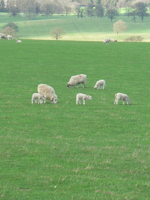 Sheep and lambs by the footpath, Harewood Estate